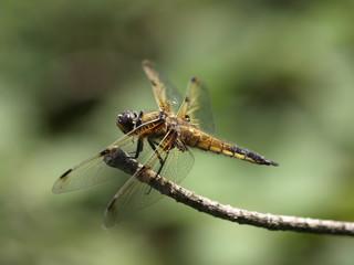 4Fleck-Libelle