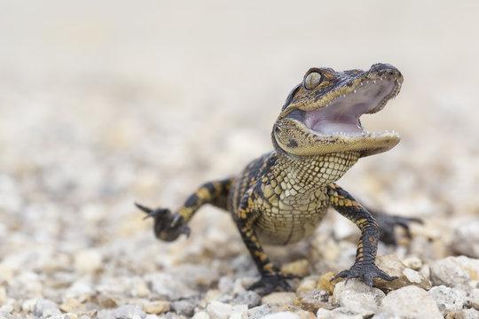 Wild baby american alligator (Alligator mississippiensis) running towards camera