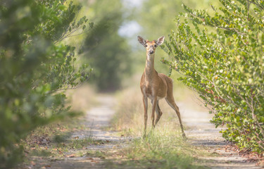 Poster Deer Wild young white-tailed deer (Odocoileus virginianus) on path in Florida Everglades