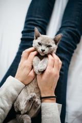 Tickling blue Burmese kitten on woman's legs