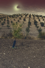 Mysterious olive grove in Spain