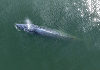 Aeriial shot / The whale is swimming in the sea, it is rising, watering and breathing.
