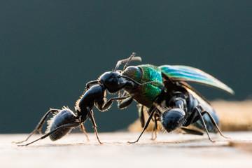 Macro image of ants eating a colourful beetle