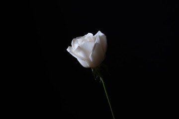 Single white rose with water droplets against a black background.