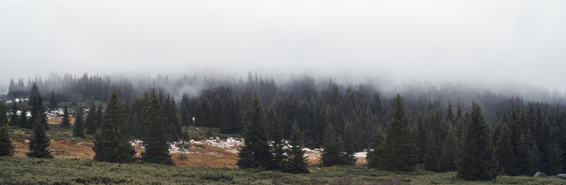 Panoramic view to coniferous forest