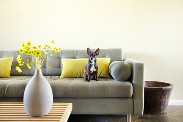 Cute Chihuahua dog sitting on sofa in living room