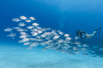 A female diver swimming with school of Jack fish