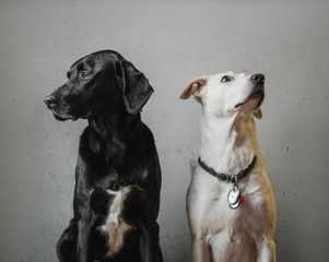 Classical portrait of a dog couple