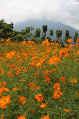 Meadow of bright orange flowers with a backdrop of Khao Soi Dow mountain in Chanthaburi province, eastern Thailand.