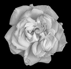 Fine art still life monochrome black and white flower macro photo of a wide open rose blossom with detailed texture on black background seen from the top