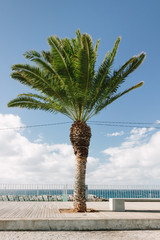 Palm tree by the ocean in Madeira