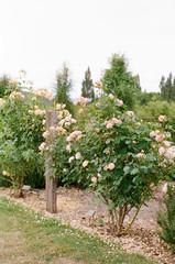 Rambling pink roses