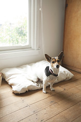 cute fox terrier dog inside on bed