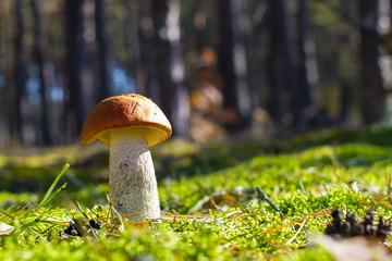 big leccinum mushroom in moss