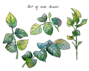 Set of stems and leaves of a rose flower. Watercolor botanical illustration on white background. Each element is isolated.