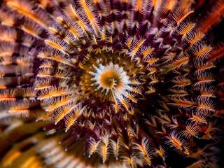 Christmastree worm im Meer bei Anilao auf den Philippinen