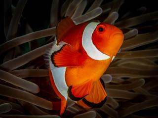 Anemonenfisch Nemo im Meer bei Anilao auf den Philippinen