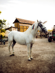 White horse in the country