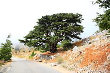 Lebanon Cedars on a misty day