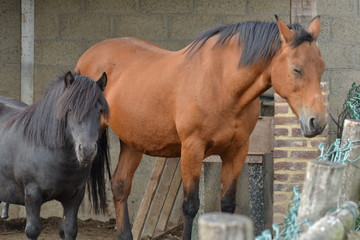 Acrylic Prints Horses rustend paard en pony op een boerderij in Zuid-Limburg