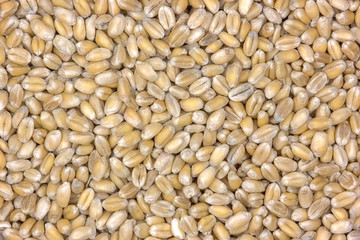 Golden wheat grains background  - close up view from the top