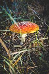 inedible and poisonous mushroom mushroom