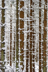Snowy spruce tree trunks in a forest