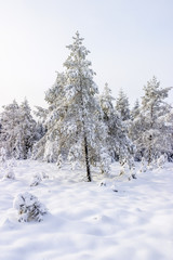 Spruce tree in a bog at the winter