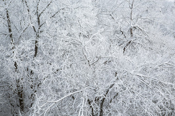 Trees covered with hoarfrost in the forest