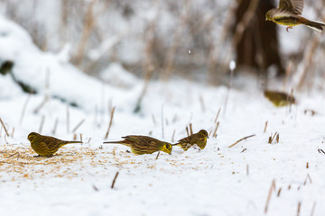 Flock of yellowhammer that eats seeds in the snow