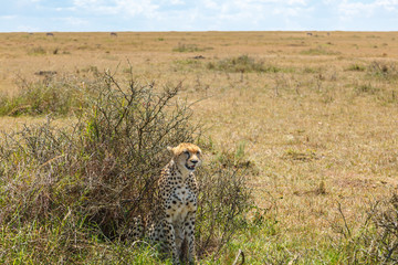 Alone cheetah sitting in a bush in the savannah