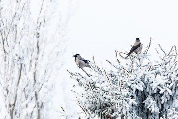 Jackdaws sitting in a spruce tree top with frost in winter