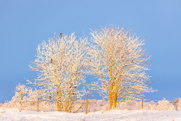 Frosty trees with crows in a winter landscape