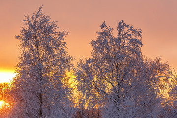 Tree with hoarfrost at a sunset with a colorful sky