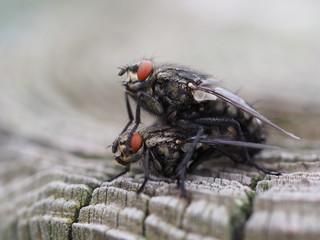 Graue Fleischfliegen - Paarung