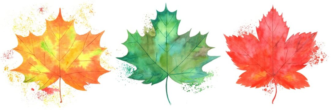 Watercolor illustration autumn yellow green red maple leafs set on a white background and natural splash