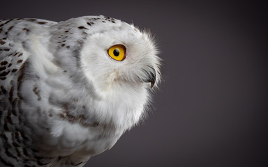 Snowy owl (Bubo scandiacus) Fotomurales