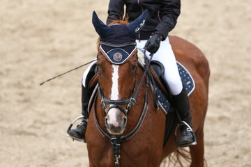 Sport horse close up under old leather saddle on dressage competition. Equestrian sport background.
