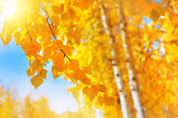 Autumn background with birch tree branches with yellow leaves