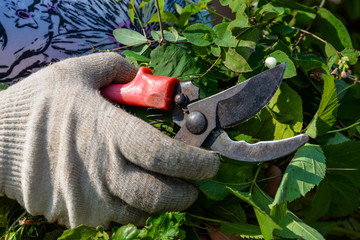 Hand in glove with garden clippers cuts bush. Cutting faded stems, hedge, branches with gardening tools, secateurs, scissors. Hard autumn work in garden. September, sunny day. Seasonal work