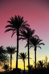 Palm tree silhouettes against the sky during African sunset. Colorful exotic summer card. Travel, vacations concept.