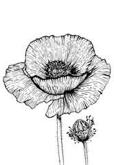 Poppies Flowers Art Print - Black and White Pen and Ink Modern Art
