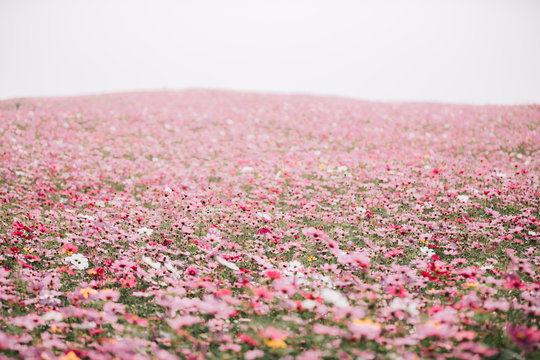 cosmos flower field background with film vintage style