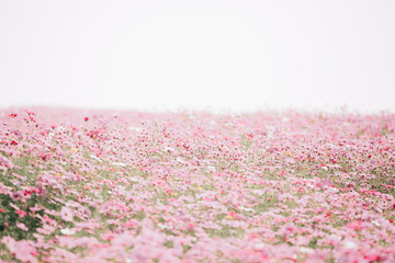 Cosmos flowers background in pastel style