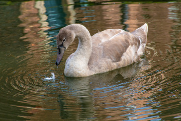Young cygnet swans with gray feathers