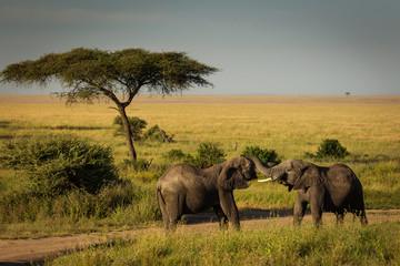 Obraz Słonie, Afryka - fototapety do salonu