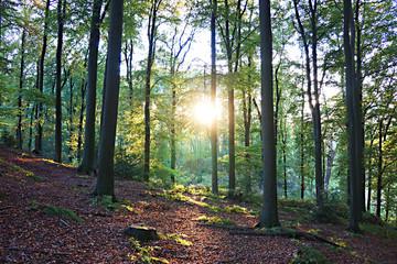 Wald , Sonne im Gegenlicht