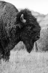 Bison of Theodore Roosevelt National Park