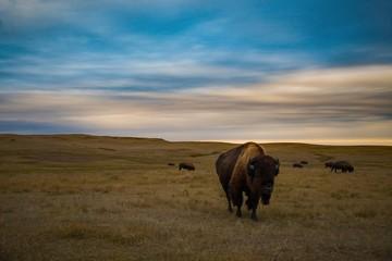 Canvas Prints Bison Bison of Theodore Roosevelt National Park