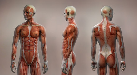 Muscles male front side back